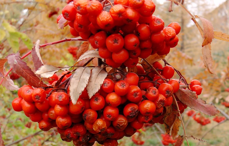 Photo wallpaper autumn, berry, brush, Rowan