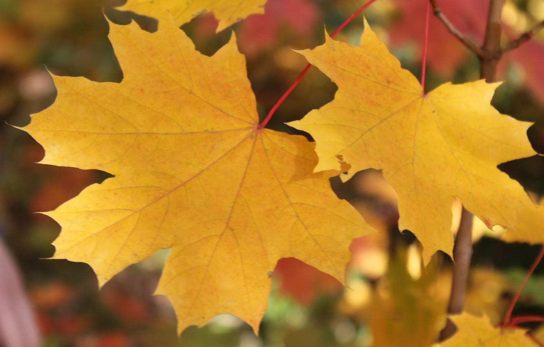 Photo wallpaper autumn, leaves, yellow leaves, maple, maple leaves, Golden autumn