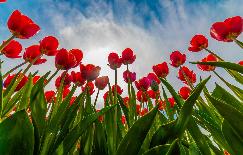 Photo wallpaper field, the sky, tulips
