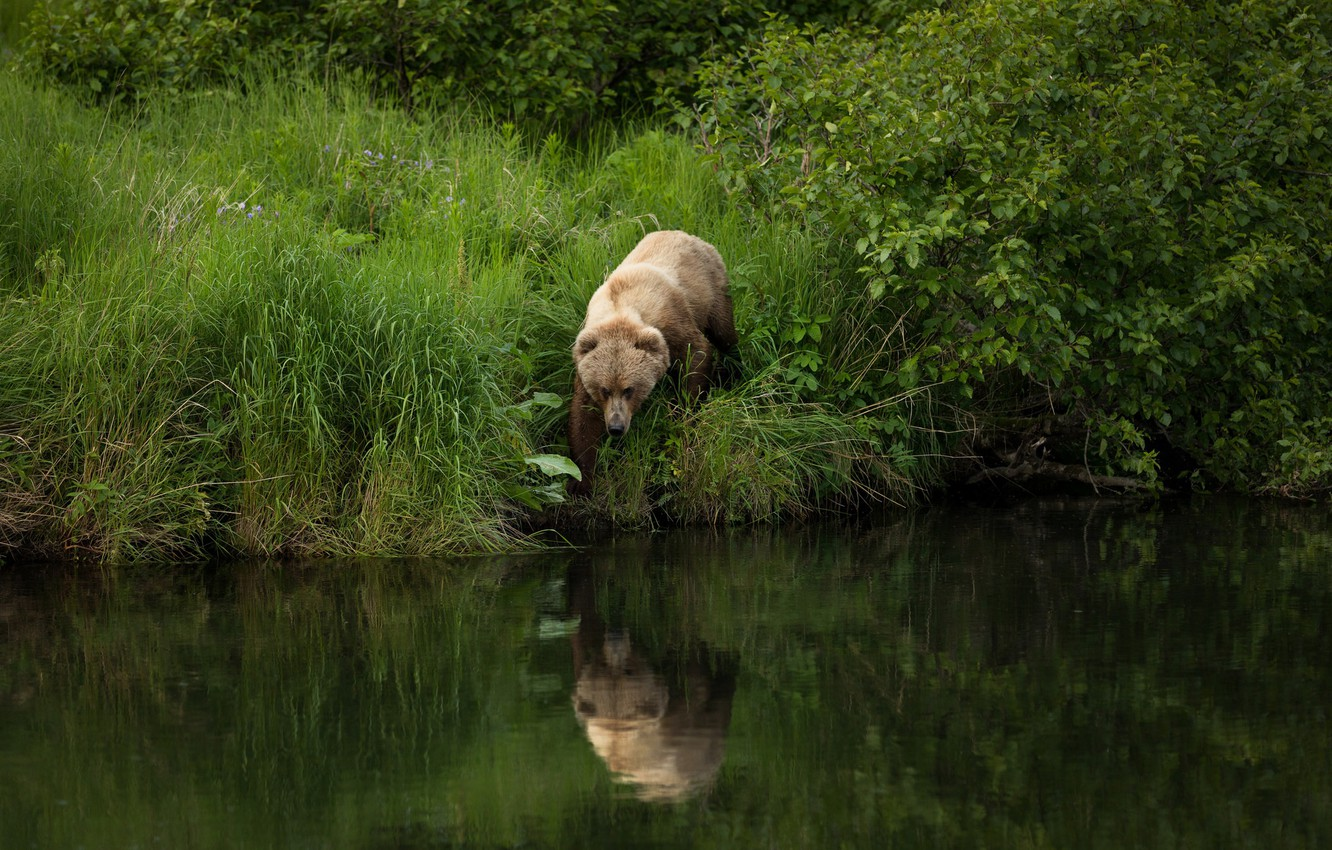 Photo wallpaper summer, grass, nature, pose, reflection, river, shore, foliage, bear, walk, the bushes, pond, brown, angler, …
