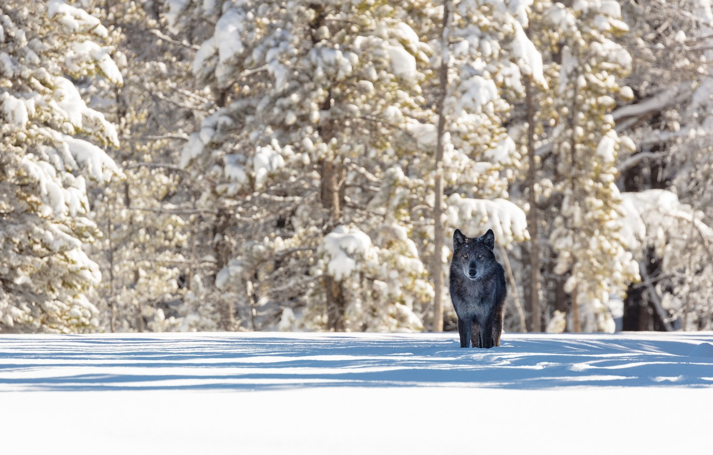 Photo wallpaper winter, forest, snow, nature, animal, wolf, predator