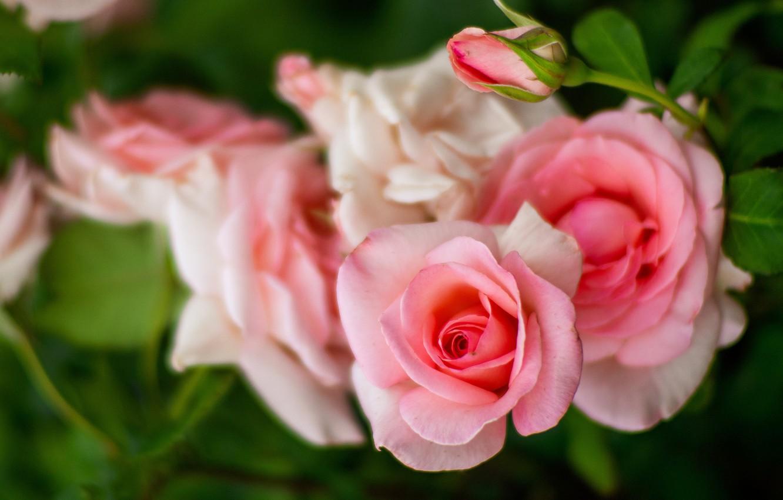 Photo wallpaper roses, blur, branch, garden, Bud, pink, bokeh, rose Bush, salmon