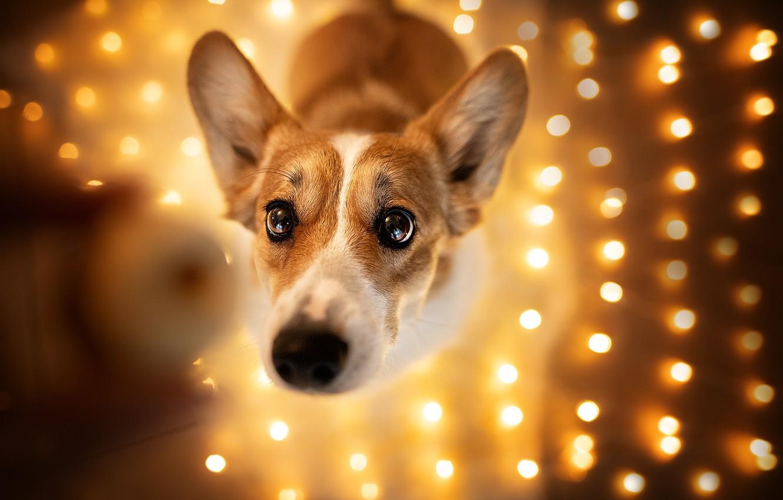 Photo wallpaper look, dog, garland, face, light bulb, bokeh, Welsh Corgi
