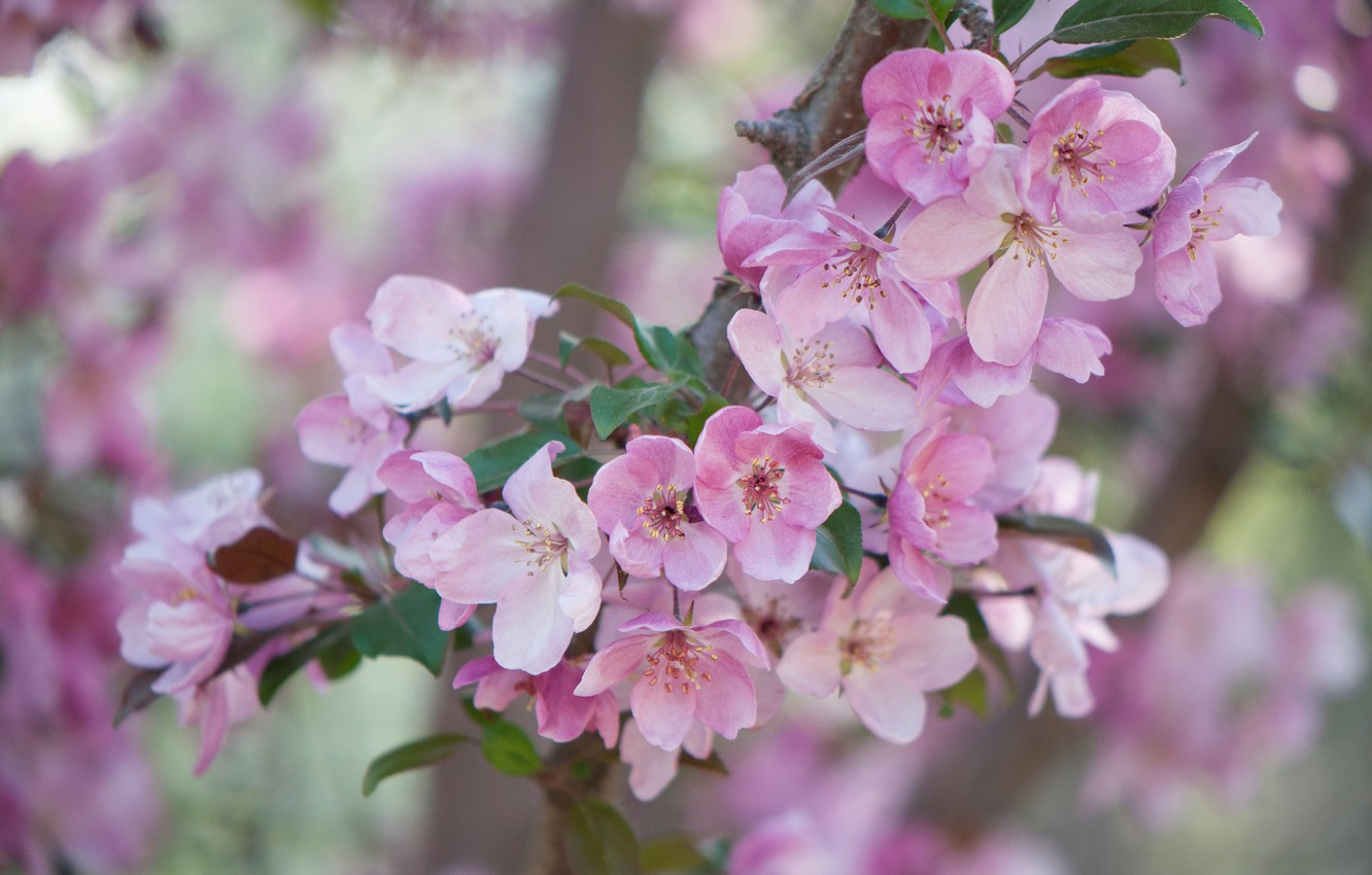 Photo wallpaper branches, tree, flowering
