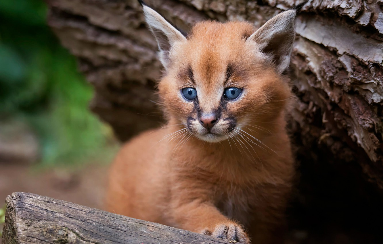 Photo wallpaper cat, look, pose, background, tree, portrait, baby, bark, kitty, lynx, face, cub, wild cat, Caracal, …