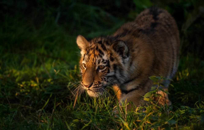 Photo wallpaper grass, tiger, cub, kitty, tiger
