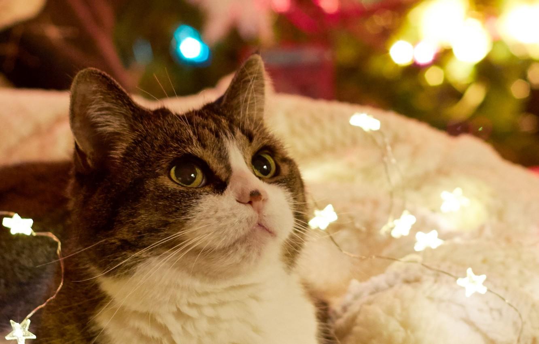 Photo wallpaper cat, look, holiday, New year, garland
