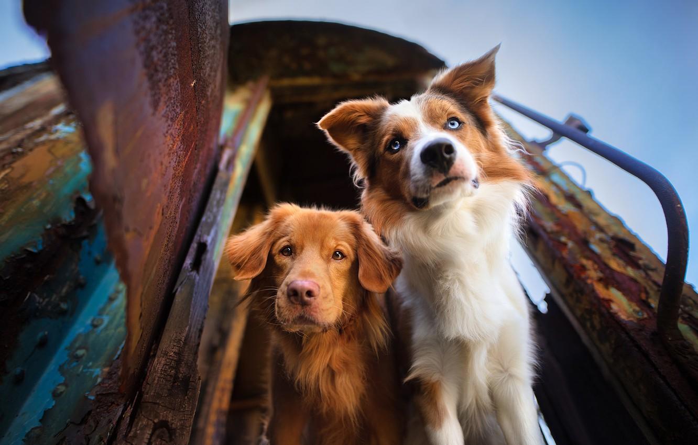 Wallpaper Look Muzzle Two Dogs The Border Collie Nova Scotia