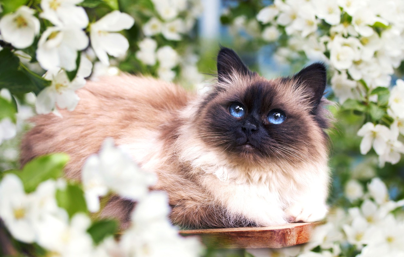 Photo wallpaper cat, flowers, spring, muzzle, fluffy