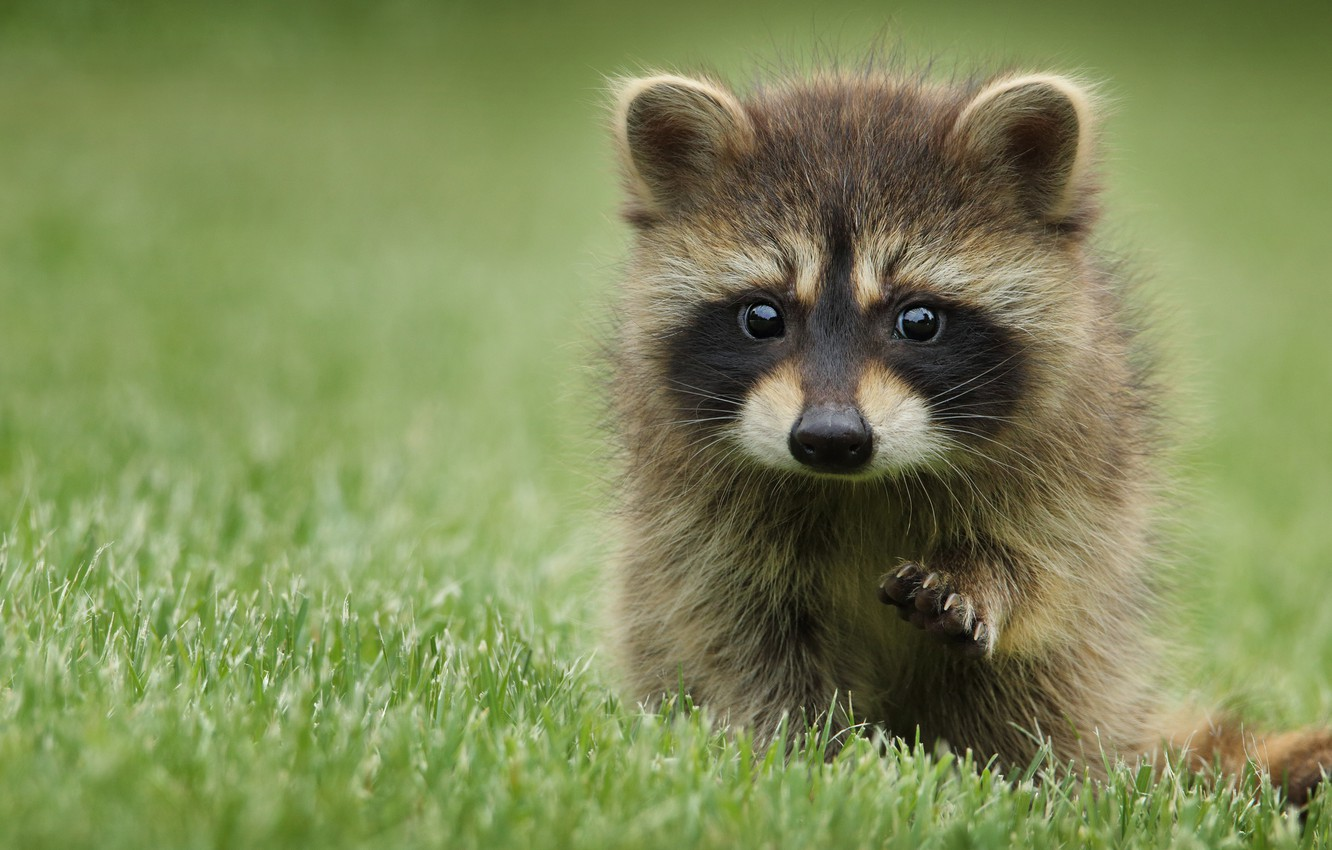 Photo wallpaper grass, look, pose, background, glade, portrait, baby, raccoon, face, cub, foot