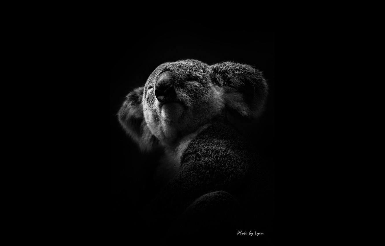Wallpaper White Black Koala Lyon Images For Desktop