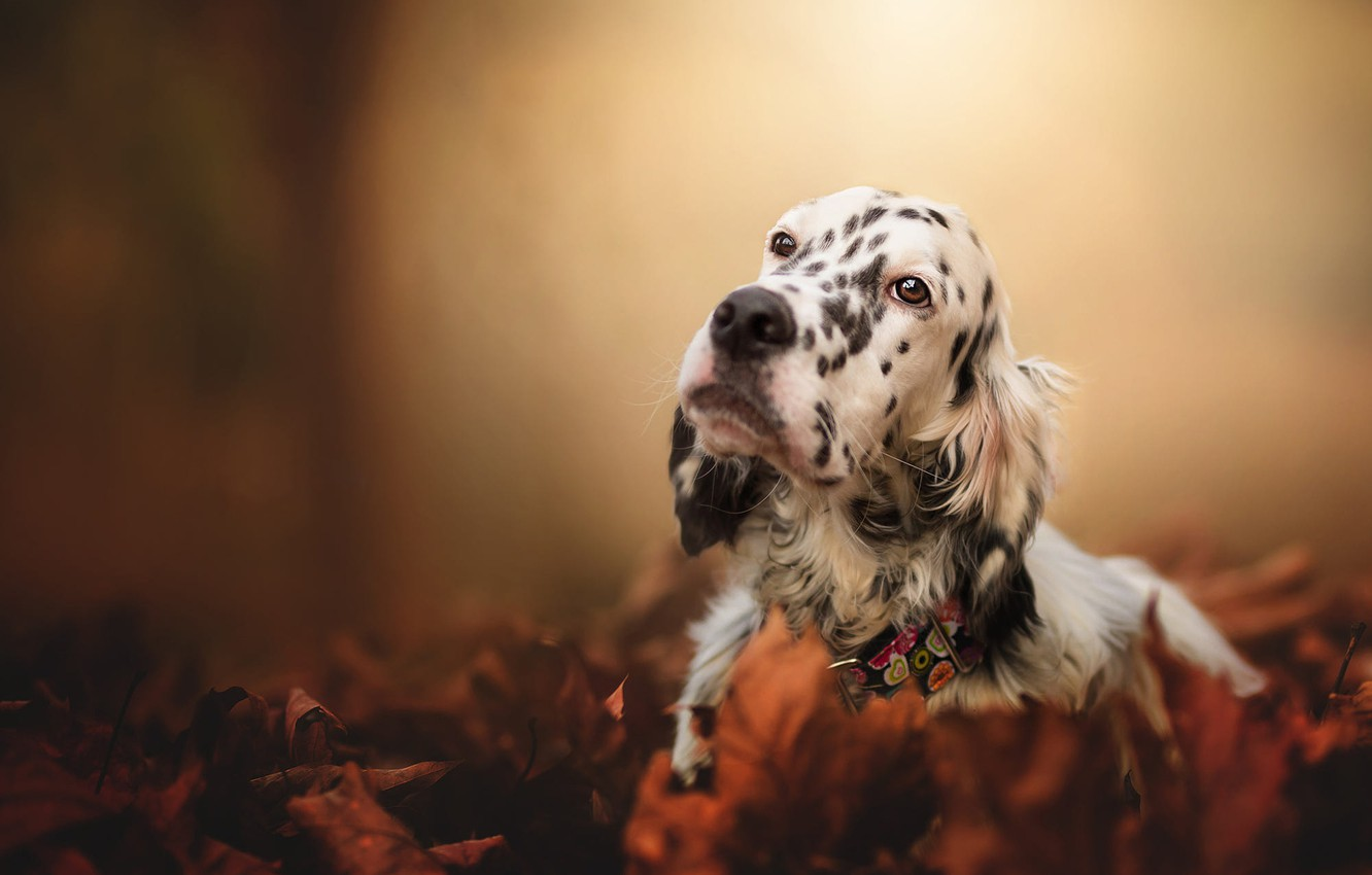 Photo wallpaper sadness, autumn, look, face, leaves, nature, background, foliage, dog, collar, setter, motley