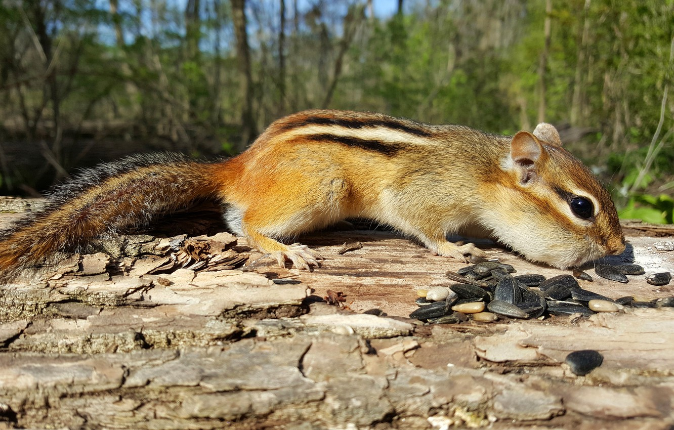Photo wallpaper look, strips, nature, pose, animal, Chipmunk, log, bark, face, seeds, the bushes, lunch, rodent, cheeks, …