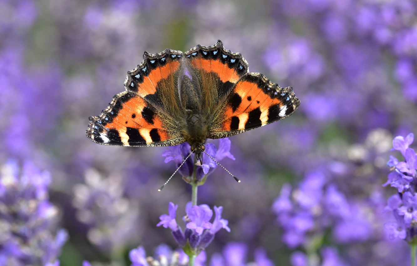 Photo wallpaper macro, flowers, butterfly, blur, lavender, Urticaria