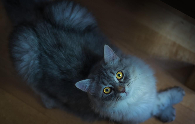 Обои smoky, дымчатый, кот, cat. Кошки foto 17