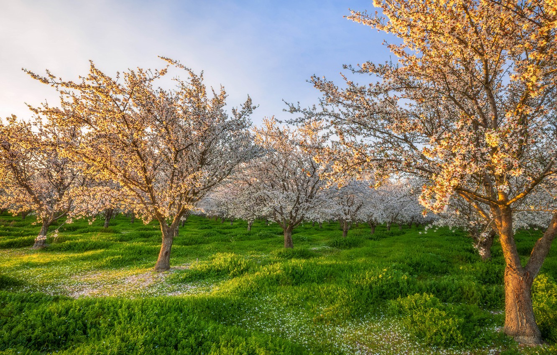 Photo wallpaper greens, the sky, light, trees, flowers, branch, glade, spring, morning, garden, white, flowering, blooming, spring, …