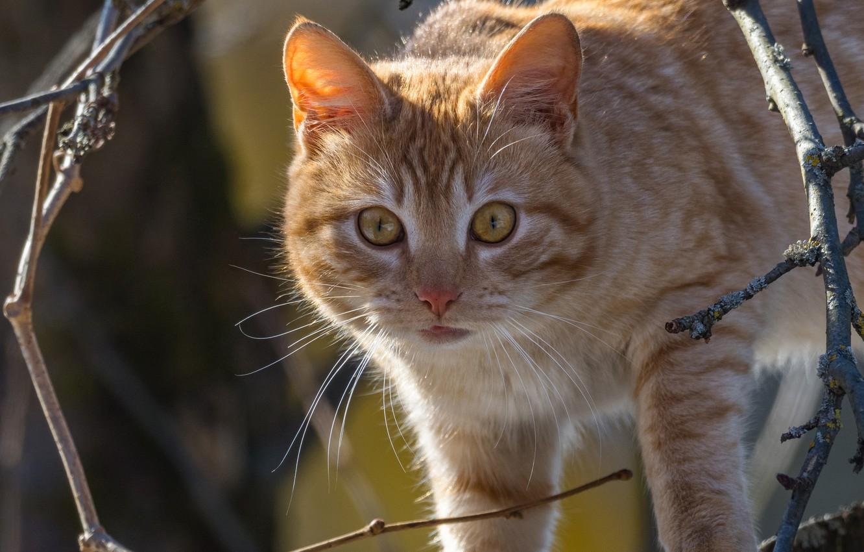 Photo wallpaper cat, cat, look, branches, red, muzzle, cat, Alexey Kurmanci