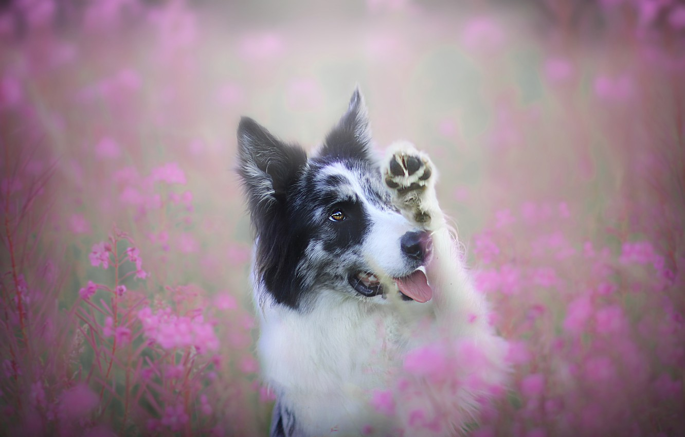 Photo wallpaper field, language, summer, look, face, flowers, pose, glade, paw, portrait, dog, pink, the border collie, …