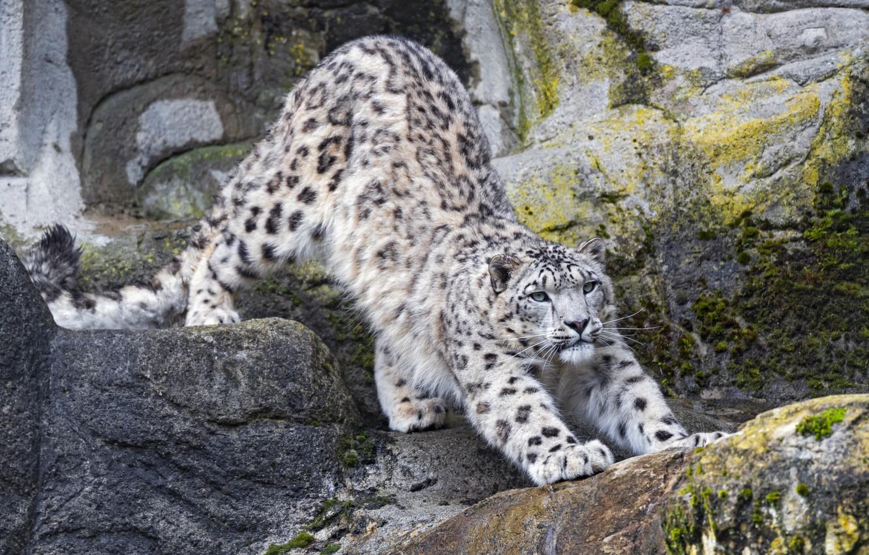Photo wallpaper predator, IRBIS, snow leopard, potyagushki