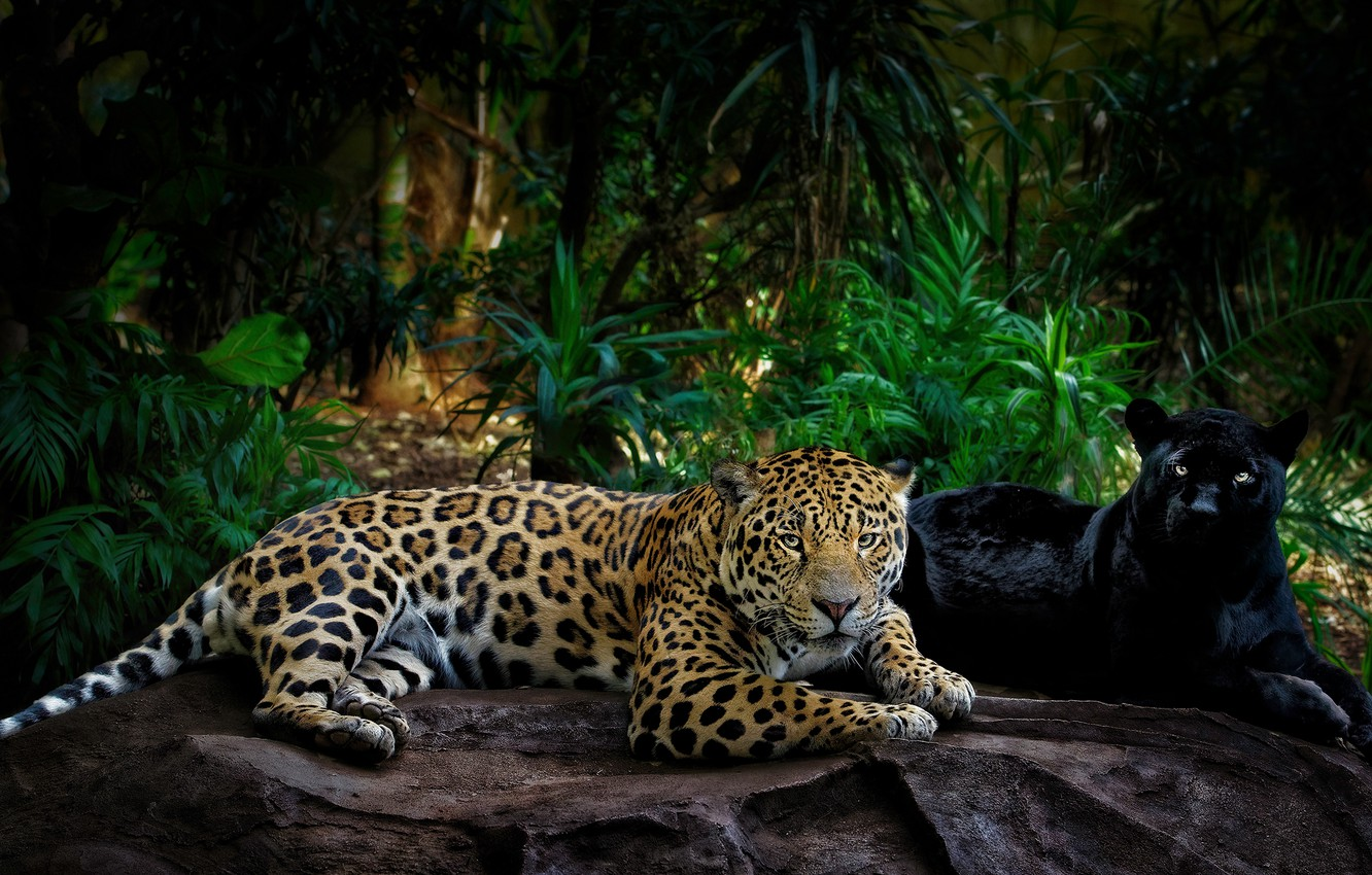 Photo wallpaper greens, look, leaves, light, pose, the dark background, stones, palm trees, thickets, two, paws, Panther, …