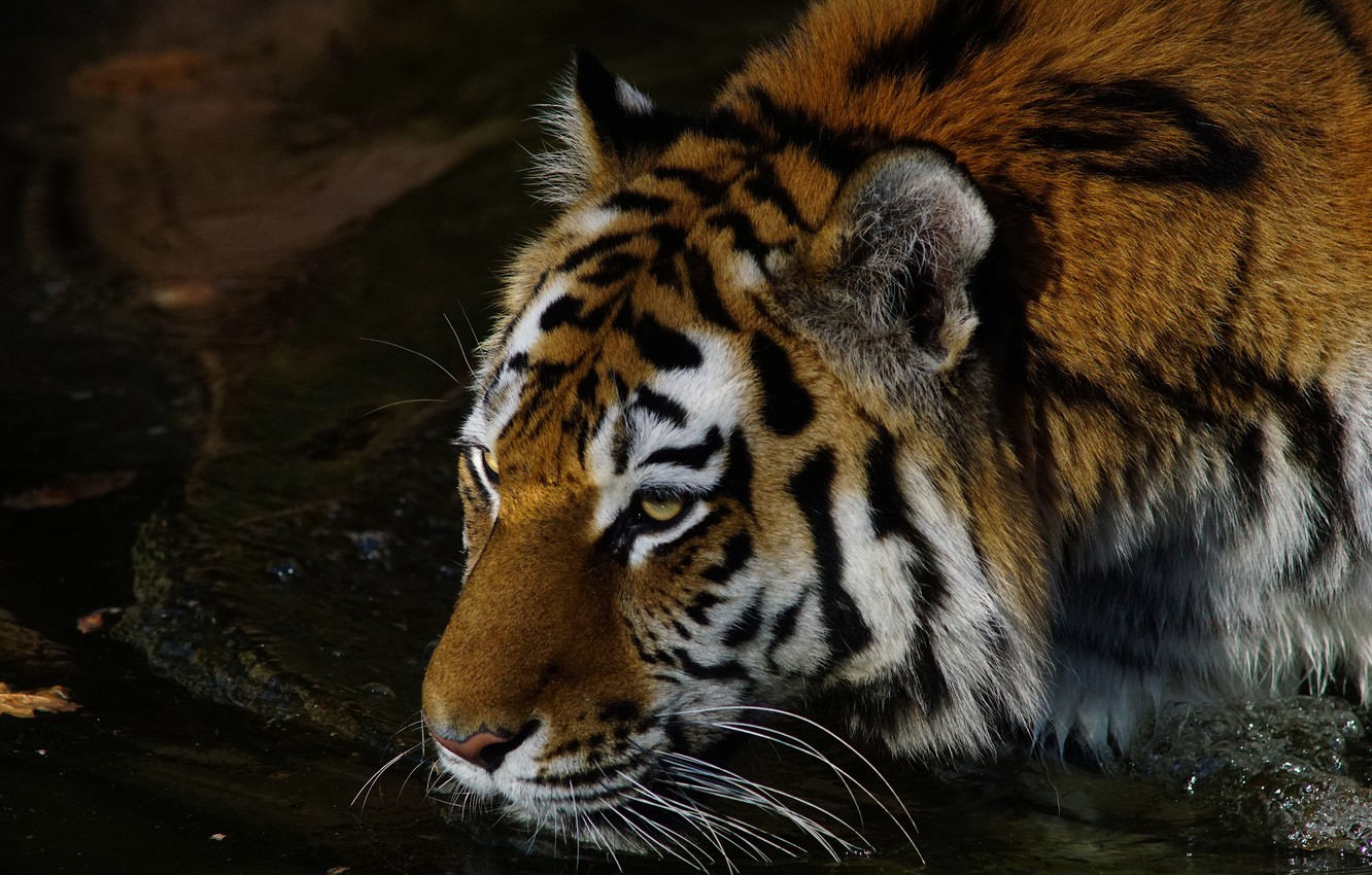Photo wallpaper look, face, water, night, tiger, pose, darkness, the dark background, portrait, drink, wild cat, pond