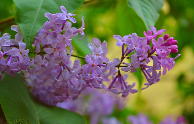 Photo wallpaper Spring, Purple flowers, Purple flowers