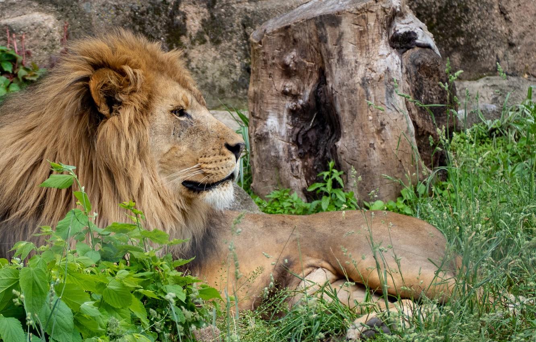 Photo wallpaper nature, predator, Leo, resting, big cat