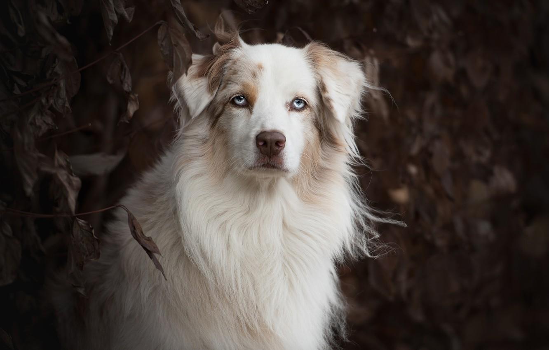 Photo wallpaper look, face, portrait, dog, Australian shepherd, Aussie