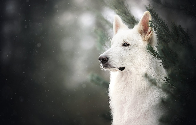 Photo wallpaper face, branches, portrait, dog, bokeh, The white Swiss shepherd dog