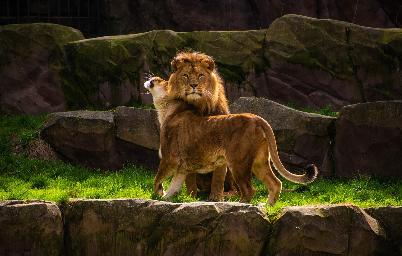 Photo wallpaper look, nature, pose, stones, rocks, man, Leo, family, pair, weasel, wild cats, lions, lioness, female, …