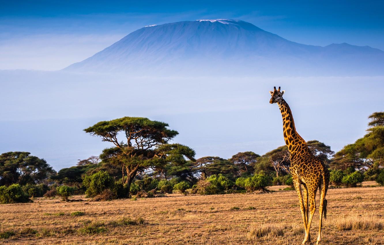 Photo wallpaper landscape, nature, mountain, giraffe