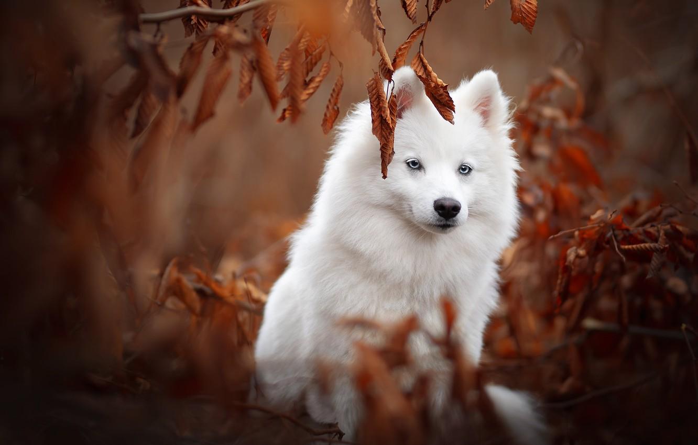 Photo wallpaper autumn, leaves, branches, dog, Samoyed