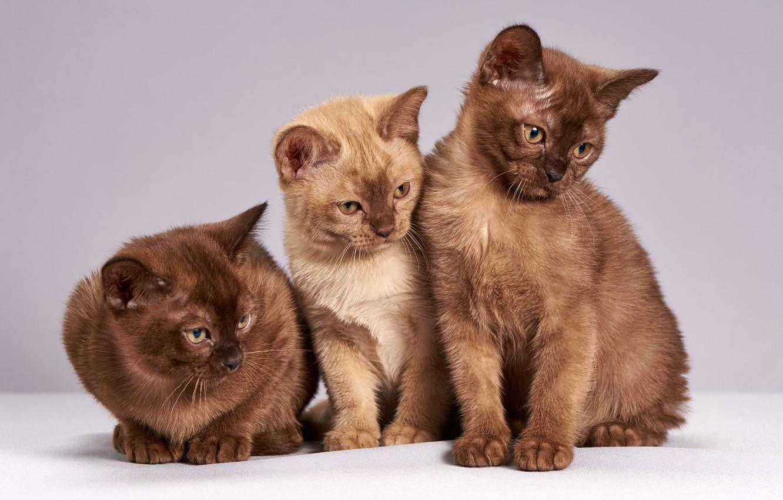 Photo wallpaper look, cats, pose, kitty, background, light, kittens, three, kitty, trio, brown, cuties, sitting, chocolate, British, …