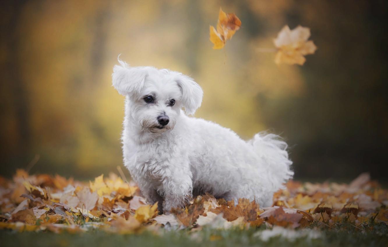 Photo wallpaper autumn, nature, animal, foliage, dog, lapdog, dog