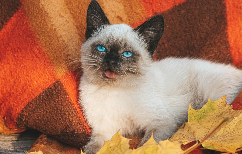 Photo wallpaper autumn, white, cat, leaves, muzzle, plaid, kitty, blue eyes, Balinese cat