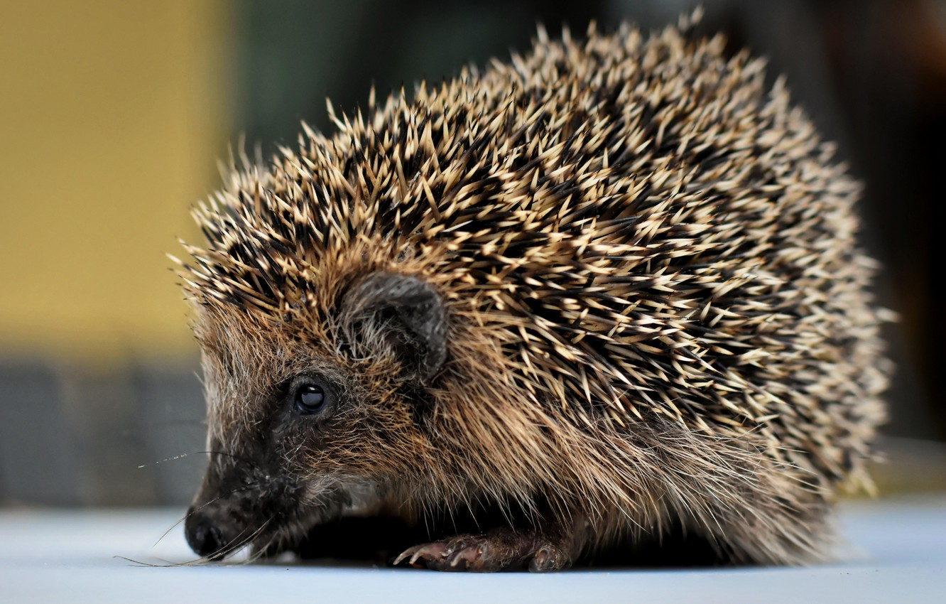 Photo wallpaper needles, muzzle, hedgehog, bokeh