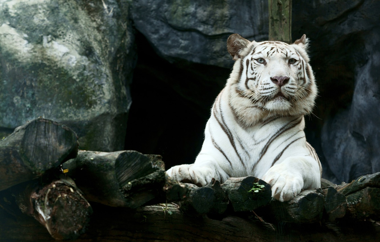 Photo wallpaper face, tiger, stones, predator, paws, lies, white tiger, resting, handsome, bokeh