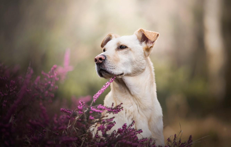Photo wallpaper summer, look, face, flowers, nature, Park, portrait, dog, nose, dog, white, pink, ears, Labrador, light …
