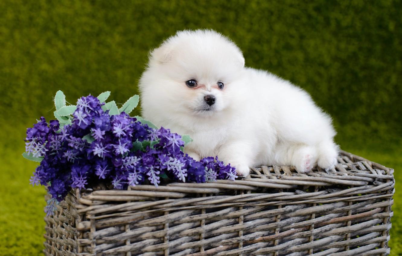 Wallpaper White Flowers Dog Fluffy Baby Puppy Basket Pomeranian Images For Desktop Section Sobaki Download