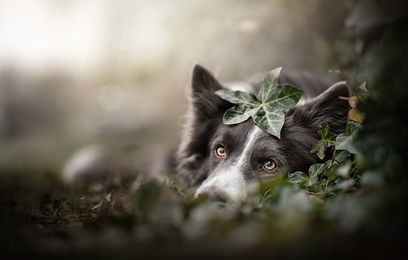 Photo wallpaper look, face, leaves, dog, bokeh, The border collie