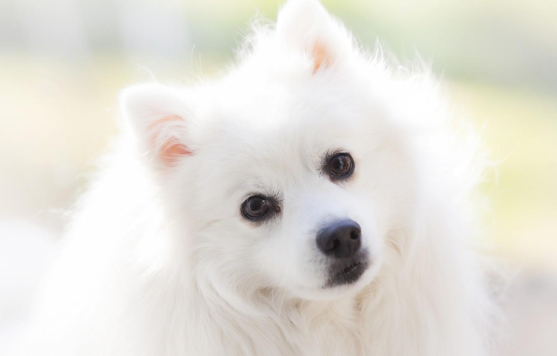 Wallpaper Look Portrait Dog White Face Light Background Spitz Images For Desktop Section Sobaki Download