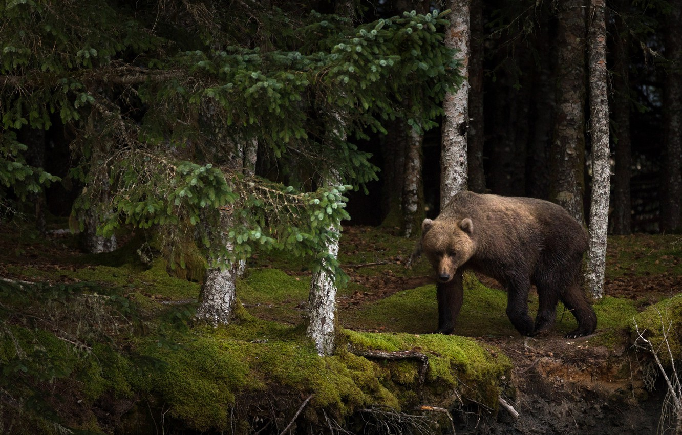 Photo wallpaper forest, summer, look, face, trees, branches, nature, pose, the dark background, trunks, moss, beauty, bear, …