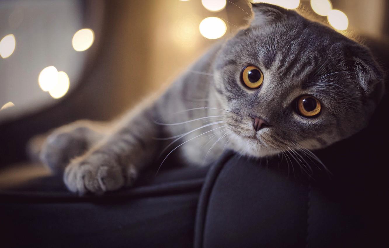 Photo wallpaper cat, face, pose, animal, bokeh