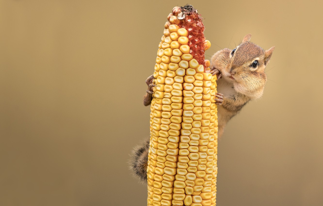 Photo wallpaper background, corn, Chipmunk, face, rodent, the cob, meal