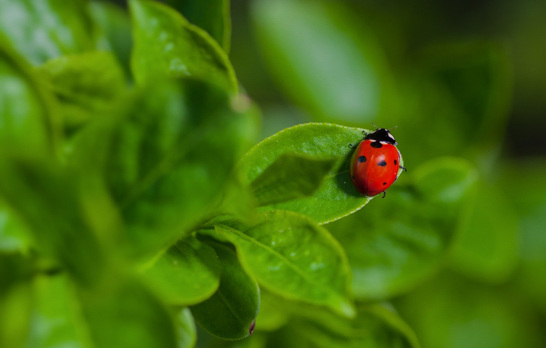 Photo wallpaper leaves, macro, nature, ladybug, beetle
