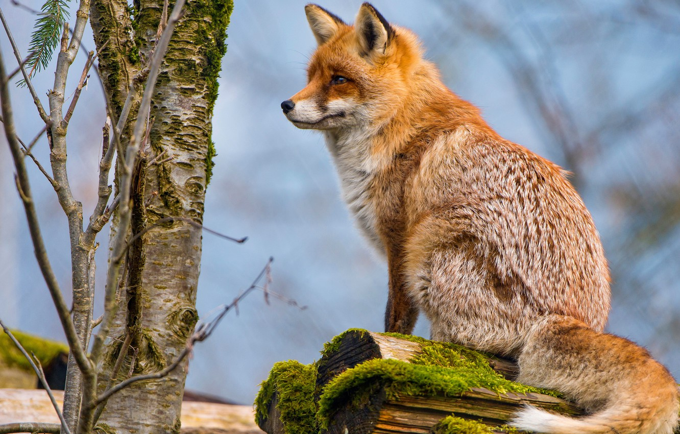 Photo wallpaper look, branches, pose, tree, moss, Fox, tail, trunk, profile, red, log, sitting, blue background, wildlife, …