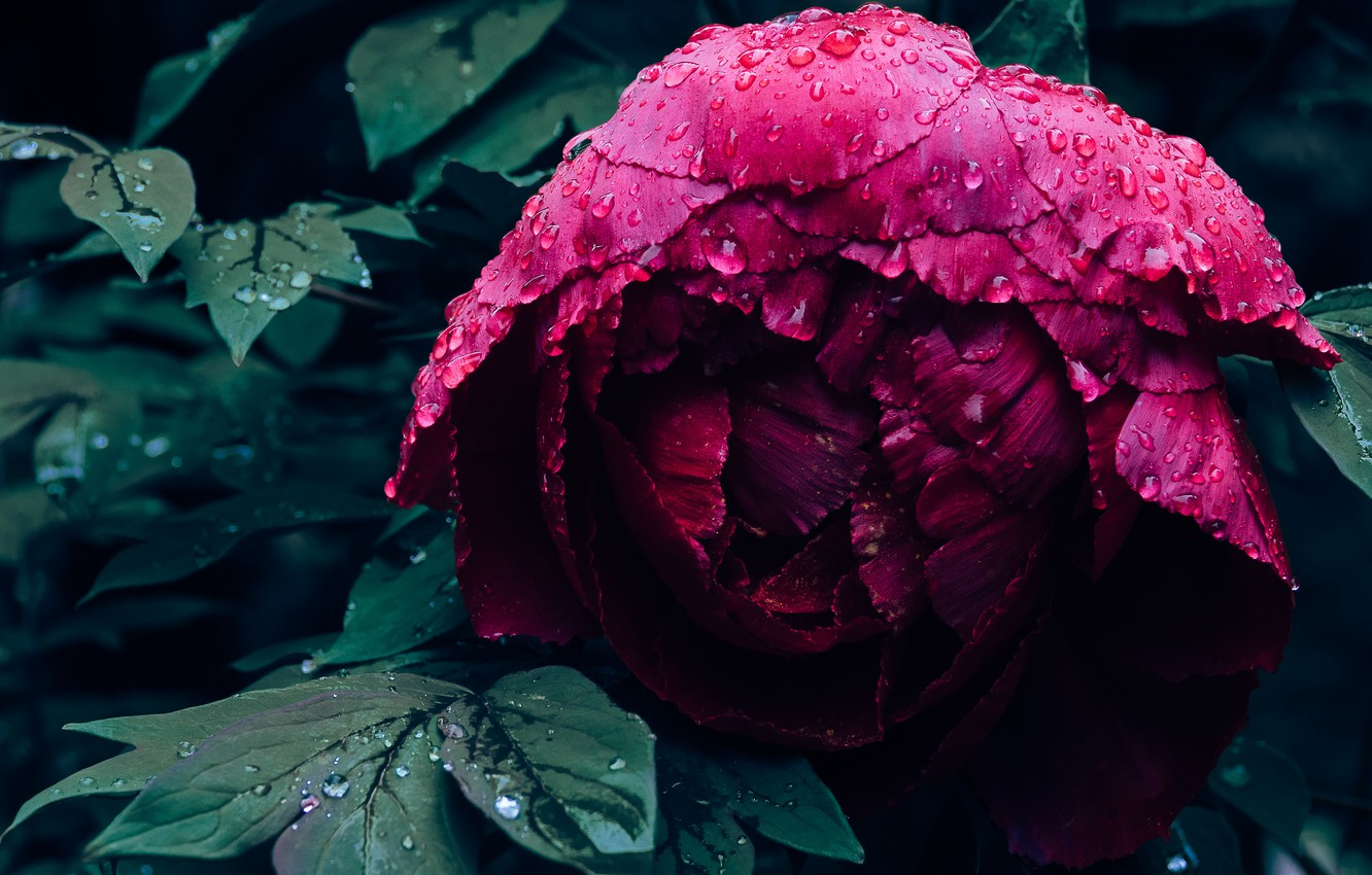 Photo wallpaper flower, leaves, drops, close-up, the dark background, petals, Bud, Burgundy, peony