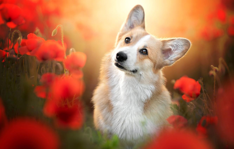 Photo wallpaper look, flowers, Maki, portrait, dog, blur, face, Welsh Corgi