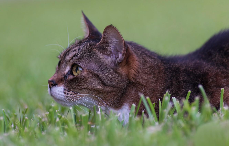Photo wallpaper grass, cat, muzzle, observation, cat, in ambush