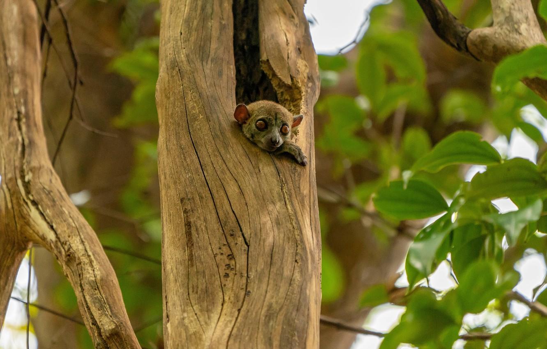 Photo wallpaper look, tree, foliage, baby, lemur, animal, cub
